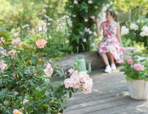 In het voorjaar rozen planten