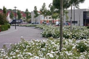 Kleur en geur met rozen in openbaar groen