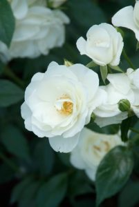Rosen: Zierde für Ihren Garten