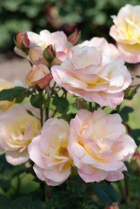 Geur in je tuin met rozen