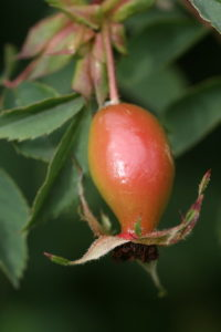 About rosehips and rosehip roses