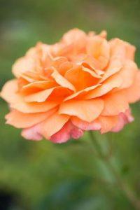 Maak je eigen rozentuin en geniet eindeloos van de geur en kleur