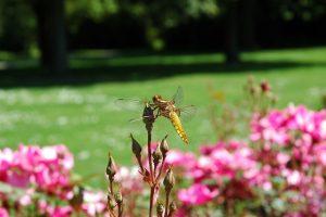 Rozen geven boost aan biodiversiteit