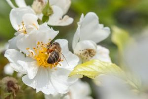 Increase biodiversity with garden roses