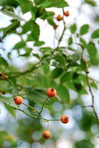 Rose hips give autumn gardens a colour boost